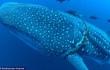 Mexico: Cá mập voi khổng lồ bị thương, tìm đến con người nhờ giúp đỡ
