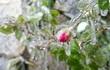Thị trấn Sa Pa chìm trong giá lạnh, hoa đóng băng