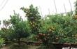Trồng quất bonsai lời gấp 10 lần quất cảnh