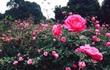 Đồi hoa hồng vạn gốc, cô gái 8X Hà thành thu đều tiền tỷ