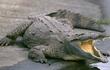 Mexico: Uống máu cá sấu để... chữa HIV