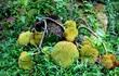 Dân Nghệ An đổ xô đi xem cây mít bị chặt tận gốc vẫn ra quả chi chít