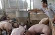 1 triệu tấn thịt lợn Việt Nam có thể xuất sang Trung Quốc