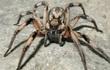 Các nhà khoa học phát hiện loài nhện mới, đặt tên theo nhện Aragog trong Harry Potter