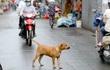 Hà Nội: Giao UBND cấp phường, xã bắt giữ chó thả rông