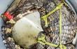 Người dân vây bắt cá sấu trong đầm tôm ở Cà Mau
