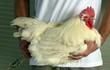 Tại sao loại thịt gà này giá 'đắt khét', lên tới 1 triệu đồng/kg?