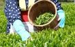 Thu hoạch trà xanh cùng chồng, người vợ trẻ bất ngờ tử vong vì thứ thiết bị hiện đại