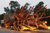 3 cây khủng bị giữ ở Huế