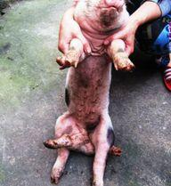 Lợn 6 chân khỏe mạnh ở Thanh Hóa