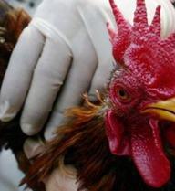 WHO giải đáp về cúm A/H7N9