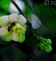 Chùm ảnh: Ngát hương mùa hoa bưởi