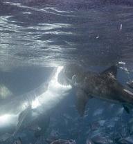 24h qua ảnh: Kinh hoàng cảnh cá mập khổng lồ cắn nhau chí tử