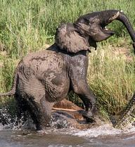 7 ngày qua ảnh: Cận cảnh voi quyết chiến ác liệt với cá sấu