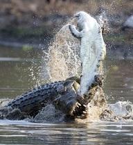 24h qua ảnh: Kinh hãi cá sấu ăn thịt đồng loại tàn khốc