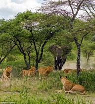 24h qua ảnh: Đàn sư tử hốt hoảng tháo chạy tránh voi dữ