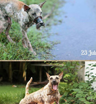 Rớt nước mắt với hình ảnh chú chó bị hoại tử mõm sau 1 năm