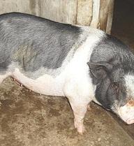 Hy hữu: Một giám đốc ở Hà Tĩnh bị lợn cắn vùng kín