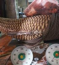 """Sang tận Campuchia mua cá hô """"khủng"""" quý hiếm về Sài Gòn"""