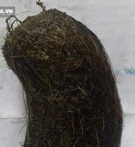 Mổ lợn nái, người đàn ông ở Thanh Hóa bất ngờ thấy dạ dày có vật lạ bốc mùi thuốc Bắc