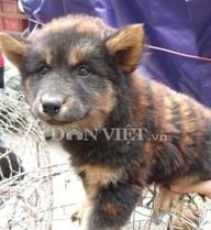 'Chó hóa hổ' tràn lan... ở chợ Bưởi
