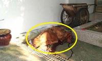 Kinh hoàng: Chó ngao Tây Tạng ăn không đủ no, lao vào cắn chủ, giằng co suốt 20 phút