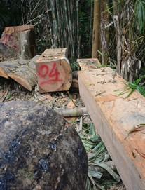 """Phó chủ tịch Quảng Nam: """"Nhìn những cây rừng ngã xuống, tôi cảm giác như máu mình đổ"""""""