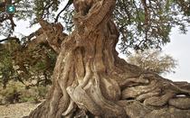 """Những cây gỗ tươi quý hiếm bậc nhất thế giới, có giá """"trên trời"""" mà đại gia săn lùng"""