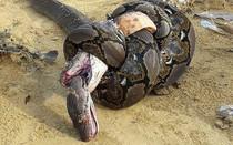 Đại chiến rắn hổ mang chúa và trăn khổng lồ