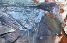 [Video] Dân Hà Nội rủ cả phố góp tiền đụng ăn chung cá kỳ dị to như con lợn con