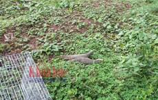 Thấy 2 con kỳ đà sắp lên bàn nhậu nên thương, một gia đình ở Sài Gòn bỏ 5 triệu mua lại