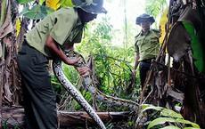 Dân vây bắt con trăn nặng 28kg, dài 7m, cơ thể có nhiều vết thương ngoài đồng hoang