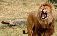 Sư tử đực đầy thương tích sau khi bị đồng loại đánh 'hội đồng'