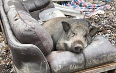 """Ăn no rồi leo lên sofa ngủ, chú heo trở thành """"nhân vật"""" gây chú ý nhất trên mạng xã hội"""