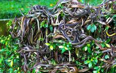 """""""Địa ngục sống"""" trên Trái Đất: Nơi 4000 con rắn độc xâm chiếm đảo hoang"""