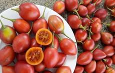 """Số phận cà chua thân gỗ """"1 triệu đồng/kg"""" giờ ra sao?"""