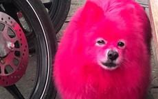 """Nhuộm lông hồng rực cho chó chơi Tết, người chủ bị dân mạng """"ném đá"""" không tiếc tay"""