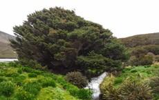 """Đây là loài cây """"cô đơn"""" nhất thế giới nhưng lại ẩn giấu bí mật rất quan trọng"""