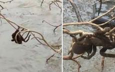 """Lũ lụt tại Úc """"phơi bày"""" cả nhện khổng lồ - cơn ác mộng của vô số người trên thế giới"""