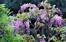 500 triệu đồng một cây hoa quốc bảo của Nhật Bản