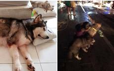Chú chó Alaska cào cửa báo tin, cứu sống gia đình chủ trong vụ cháy chung cư ở Sài Gòn