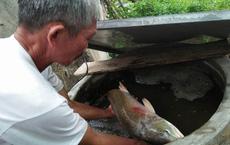 Ngư dân Quảng Bình bắt được cá lạ nghi là sủ vàng