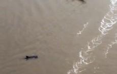Cà Mau: Phát hiện cá heo nặng gần 200kg nổi trên sông Bảy Háp