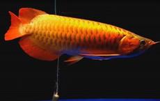 Cá rồng huyết long có gì đặc biệt khiến đại gia Hà Nội chi bạc triệu mua về nuôi chơi?