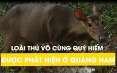 """Loài thú vô cùng quý hiếm được phát hiện ở Quảng Nam: """"Một tin tuyệt vời"""""""