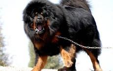 """Ngao Tây Tạng nổi tiếng hung dữ nhưng vẫn """"lép vế"""" trước những giống chó này"""