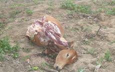 Trộm bò rồi xẻ thịt tại chỗ nhưng chỉ lấy đi 4 phần đùi