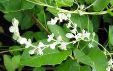 Truyền thuyết sống thọ tới 160 tuổi nhờ cây thuốc mọc nhiều ở Việt Nam
