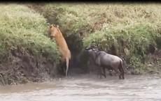 Bi hài những tình huống sư tử 'no đòn' vì bị chính con mồi tấn công