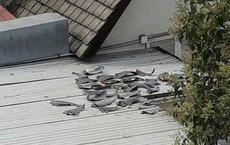 """Thương vụ Việt Nam tại Chile trả lời về vụ """"vây cá mập phơi trên mái nhà"""""""